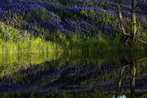 Bluebonnets & Reflections 2 by beau purvis