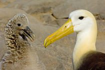Close-up of a Waved albatross (Diomedea irrorata) with its young one by Panoramic Images