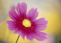 Close-up of a cosmos flower by Panoramic Images
