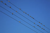 Swallows in Autumn prior to Migration, Fethard, County Tipperary, Ireland von Panoramic Images