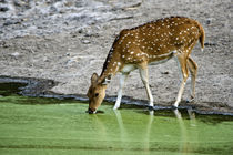 Spotted deer (Axis axis) drinking water from a lake von Panoramic Images