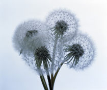 Close up of four dandelion heads in seed on stems by Panoramic Images
