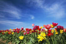 Field of blooming tulip flowers, Willamette Valley, Oregon, united states, von Panoramic Images
