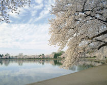 Cherry Blossom trees around the tidal basin, Washington DC, USA von Panoramic Images