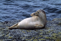 Seal lying on Bass Rock, Scotland. by Panoramic Images