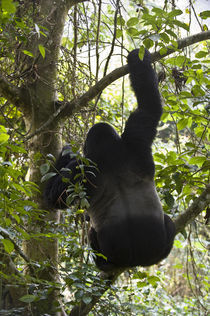 Mountain gorilla (Gorilla beringei beringei) climbing a tree by Panoramic Images