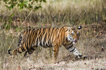 Bengal Tiger (Panthera tigris tigris) cub in a forest by Panoramic Images