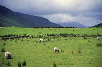 Rural scene with sheep grazing, dark clouds, Ireland. by Panoramic Images