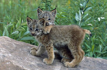 Pair of lynx kittens playing on rock, Minnesota, USA. by Panoramic Images