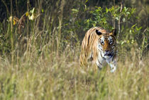 Bengal Tiger (Panthera tigris tigris) in a forest by Panoramic Images