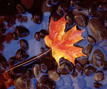 Close-up of a maple leaf in the water von Panoramic Images