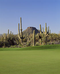 Saguaro cacti in a golf course by Panoramic Images