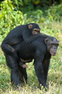 Female chimpanzee (Pan troglodytes) carrying its young one on back by Panoramic Images