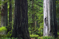 Massive redwood trees, Prairie Creek Redwoods State Park, California, USA. von Panoramic Images