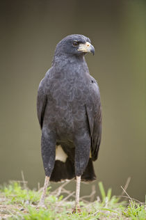 Close-up of a Great Black hawk (Buteogallus urubitinga) von Panoramic Images