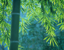 Bamboo tree in a forest, Saga Prefecture, Japan von Panoramic Images