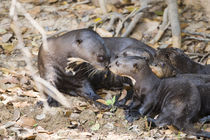 Giant otter (Pteronura brasiliensis) with its cubs von Panoramic Images