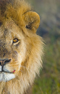 Close-up of a lion by Panoramic Images