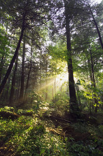 Sunbeams in dense forest, Great Smoky Mountains National Park, Tennessee, USA. von Panoramic Images