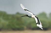Black-Necked stork (Ephippiorhynchus asiaticus) flying von Panoramic Images