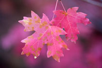 Autumn Color Maple Tree Leaves von Panoramic Images