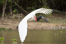 Jabiru stork (Jabiru mycteria) in flight by Panoramic Images