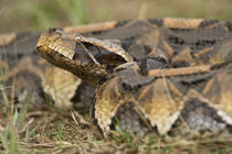 Close-up of a Gaboon viper (Bitis gabonica), Lake Victoria, Uganda by Panoramic Images