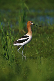 Avocet bird, profile, Lake Alice National Wildlife Refuge, North Dakota, USA. by Panoramic Images