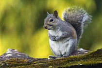 Eastern gray squirrel (Sciurus caroliniensis) on mossy log by Panoramic Images