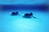 Southern Stingrays Grand Caymans by Panoramic Images