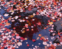 USA, Maine, Maple leaves by Panoramic Images