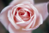 Close-up of a pink rose by Panoramic Images