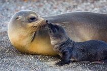 Galapagos sea lion (Zalophus wollebaeki) with its young one by Panoramic Images