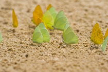 Swarm of Sulphur butterflies by Panoramic Images