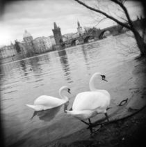 Two swans in a river, Vltava River, Prague, Czech Republic von Panoramic Images