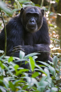 Chimpanzee (Pan troglodytes) in a forest, Kibale National Park, Uganda by Panoramic Images