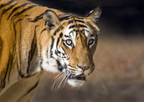 Close-up of a Bengal tiger (Panthera tigris tigris) by Panoramic Images