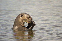 Giant otter (Pteronura brasiliensis) eating an Oscar fish von Panoramic Images