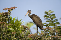 Limpkin (Aramus guarauna) perching on a tree von Panoramic Images