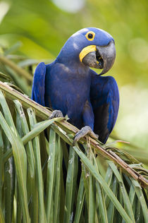 Close-up of a Hyacinth macaw (Anodorhynchus hyacinthinus)