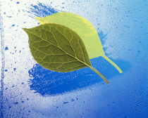 Two leaves one on top of another with shadow on wet blue surface von Panoramic Images
