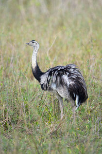 Greater rhea (Rhea americana) in a field von Panoramic Images