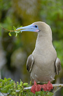 Close-up of a Red-Footed Booby (Sula sula) perching on a tree von Panoramic Images
