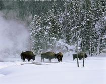 USA, Wyoming, View of bison in the snow by Panoramic Images
