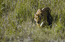 Bengal Tiger (Panthera tigris tigris) cub walking in a forest von Panoramic Images