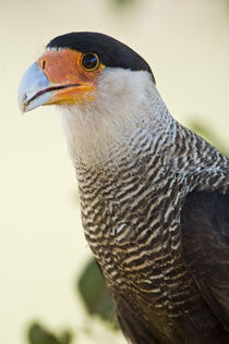 Close-up of a Crested caracara (Polyborus plancus) by Panoramic Images