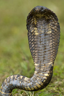 Close-up of an Egyptian cobra (Heloderma horridum) rearing up by Panoramic Images