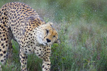 Cheetah shaking off water from its body by Panoramic Images