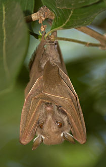 Close-up of a bat hanging from a branch, Lake Manyara, Arusha Region, Tanzania von Panoramic Images