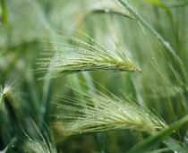 Dew drops on barley, San Francisco, California, USA by Panoramic Images